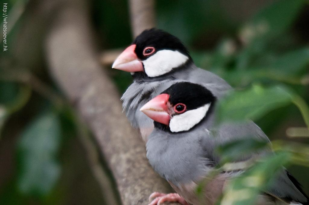 http://whatsoever.hk/birds/Java.Sparrow.0.jpg