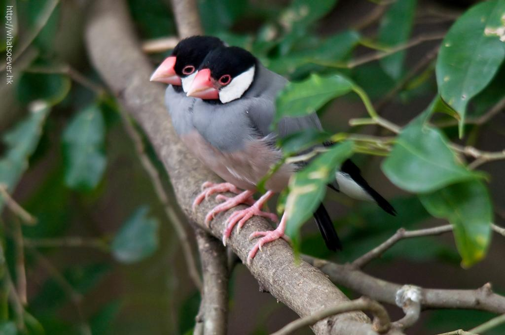http://whatsoever.hk/birds/Java.Sparrow.1.jpg