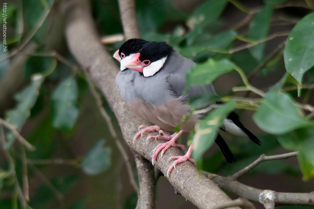 http://whatsoever.hk/birds/Java.Sparrow.2.jpg