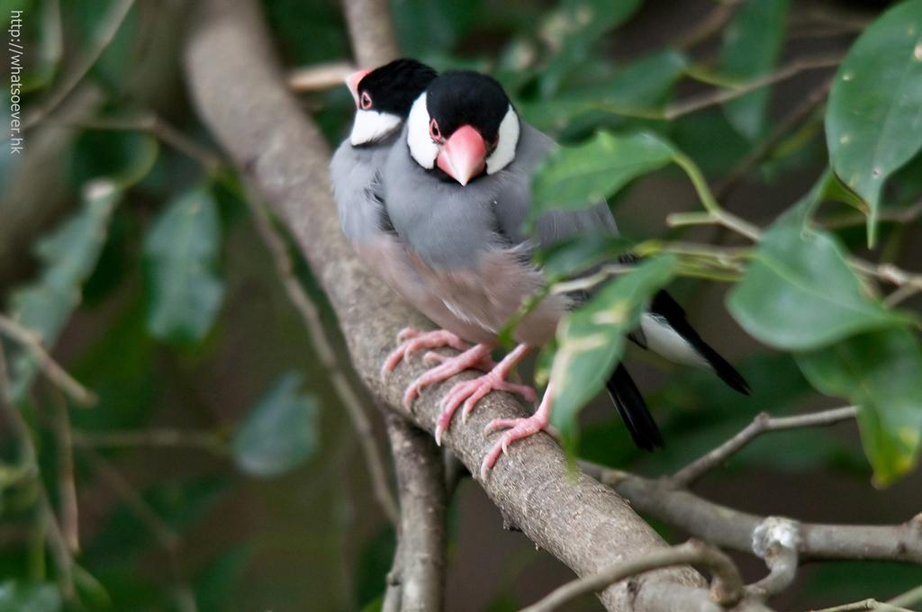 http://whatsoever.hk/birds/Java.Sparrow.3.jpg