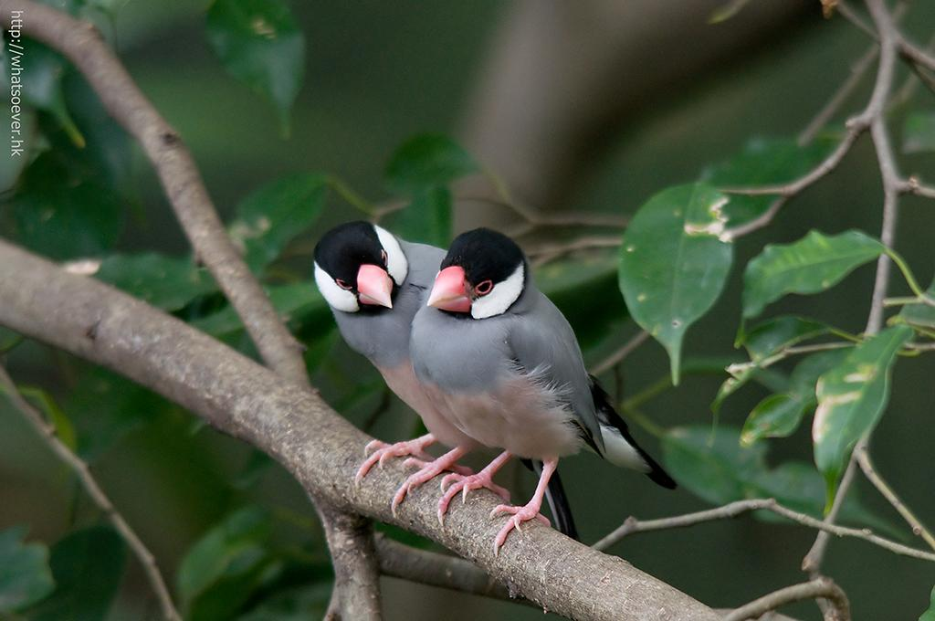 http://whatsoever.hk/birds/Java.Sparrow.4.jpg